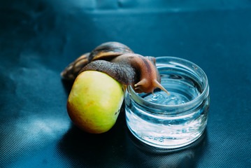 a big snail leans on an apple and climbs into a jar with water. African snail Achatina is the largest land mollusk