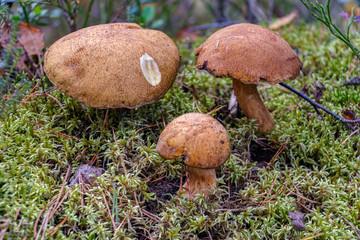 Xerocomus edible mushroom in the forest.