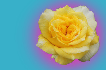 Bewitching Yellow Rose in a Pink and Blue Clouds