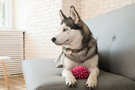 Portrait of young beautiful funny husky dog sitting on grey textile sofa at home. Smiling face of domestic pure bred dog with pointy ears. Loft style brick wall background, close up, copy space.