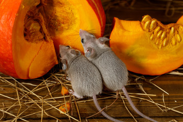 Close-up two young gray mice near   orange pumpkin in the warehouse. Top view.