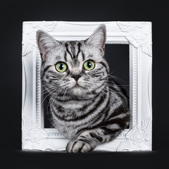 Excellent black silver tabby blotched green eyed British Shorthair kitten sitting with one paw through white photo frame, looking at camera. Isolated on black background.