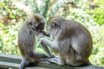 Monkeys in Monkey forest in Ubud, Bali
