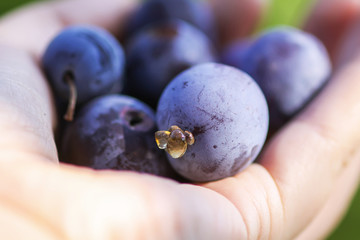 Ripe juicy plum fruits in a hand close up. Fresh organic plums growing in countryside