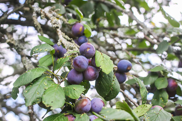Ripe juicy fruits on a plum tree in summer garden. Fresh organic plums growing in countryside