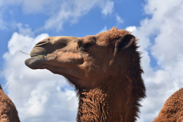 Beautiful Camel Chewing Hay with His Head in the Clouds