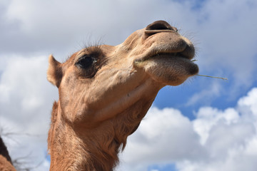 Poster Kameel Beautiful Shot of Camel on a Beautiful Day