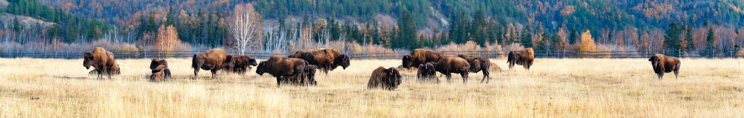 Garden Poster Bison Panorama. a herd of bison in the nursery Ust-Buotama in Lena Pillars Natural Park, Yakutia, Russia