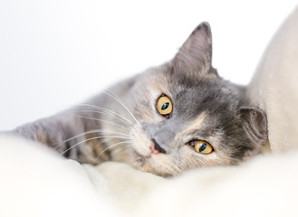 A Dilute Tortoiseshell cat with yellow eyes relaxing on a soft blanket
