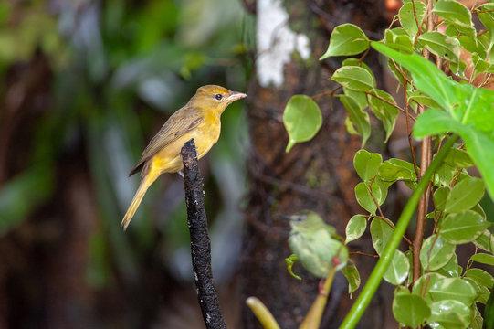 Summer Tanager (Piranga rubra) - female near Sarapiqui river, Costa Rica