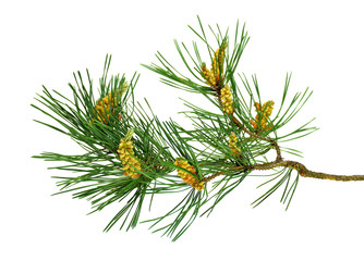 Pine branches with cones. Close-up. Isolated without a shadow.