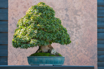 closeup of japanese maple bonsai in a japanese garden