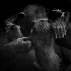 Mother Chimpanzee Monkey picking up baby chimp