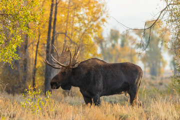 Bull Shiras Moose in Wyoming in Fall Fotoväggar