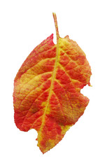 Autumn plum leaf. Leaf of plum isolated on a white background.