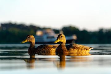 Enten im Abendlicht