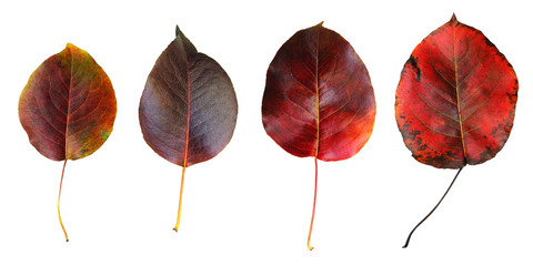 Red autumn leaves of wild pear isolated on white background.