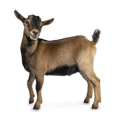 Wall Mural - Brown agouti pygmy goat standing side ways with head turned and looking to camera, isolated on white background