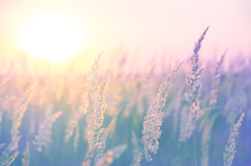 Spikelets of grasses illuminated by the warm golden light of setting sun.Beautiful summer scene in...