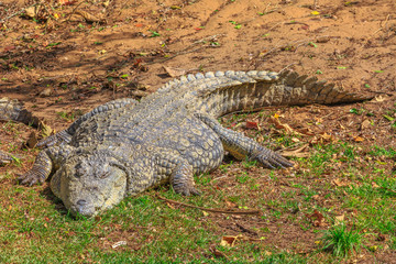 African Crocodile, Crocodylus Niloticus, resting at iSimangaliso Wetland Park in St Lucia, South Africa, one of the top Safari Tour destinations.