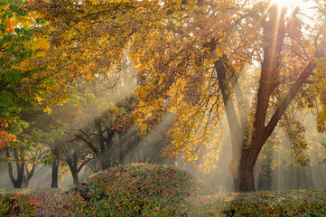 golden autumn. natural sun rays in a light morning fog make their way through branches and lined trees in an autumn city park behind a live fence