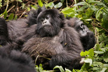 Gorillas relaxing in forest
