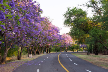 Park with street and purple jacarandas tree at sunset