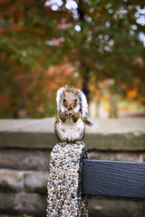 Portrait of cute squirrel holding peanut while sitting on bench corner