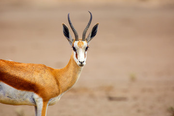 The springbok (Antidorcas marsupialis) , portrait of the female antelope.