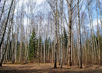 mixed forest in spring day