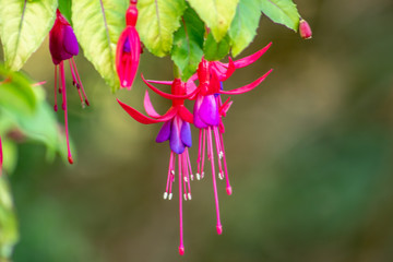 An Array of Fuchsia Flowers in the Garden