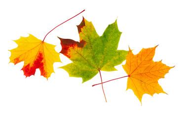 Autumn maple leaf isolated on white. Maple leaves