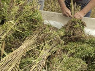 Fototapeta Professional farmer tying bundles of hemp stalks