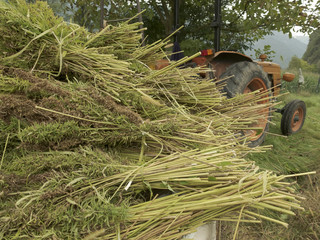 Bundles of hemp plants on the trailer