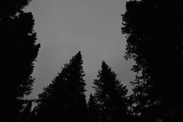 Dark silhouettes of high pines and spruces from below upwards on background of clear sky with copy space. Coniferous trees close up in grayscale. Eerie atmospheric monochrome landscape.