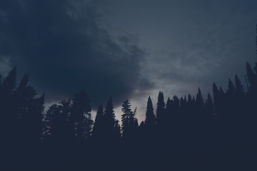 Dark silhouettes of high pines and spruces from below upwards on background of cloudy sunset sky with copy space. Coniferous trees close up in navy blue tones. Eerie atmospheric landscape.