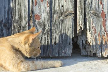 El gato naranja espera a su próxima víctima