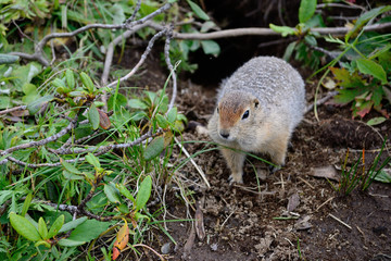 Arctic ground squirrel near its hole