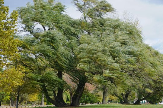 Croton-on-Hudson, New York, USA: Willows (Salix alba) -- also called sallows -- blowing in a strong wind at Croton Point Park, along the Hudson River in Westchester County.