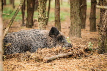 Belarus. Wild Boar Or Sus Scrofa, Also Known As The Wild Swine,