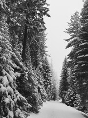 Snowy winter forest on a Pirin mountain in Bulgaria