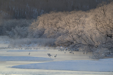 Red-crowned cranes standing in hot spring at sunrise