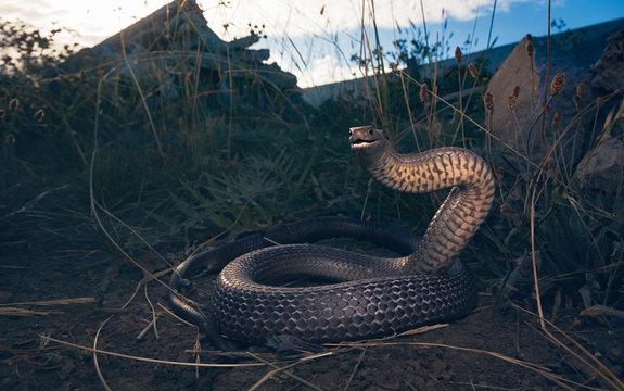 Wild eastern brown snake (Pseudonaja textilis) from Melbourne, Australia