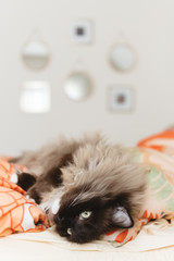 Lazy cat laying in bed.