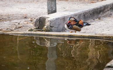 Male and female Mandarin duck Aix galericulata flock in a small pond