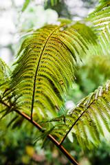 green fern in Hawaii
