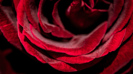 Fresh rose blooming in close up view