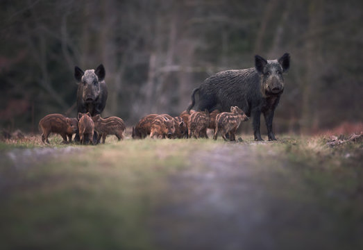 Wild boar (Sus scrofa) adults and young humbugs in forest path/clearing. UK