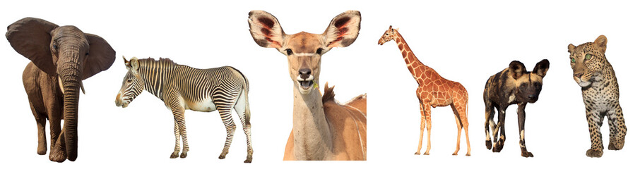 African Wildlife isolated. Elephant, Zebra, Kudu, Giraffe, Wild Dog and Leopard on white background