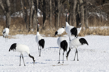 Red-crowned cranes crowing
